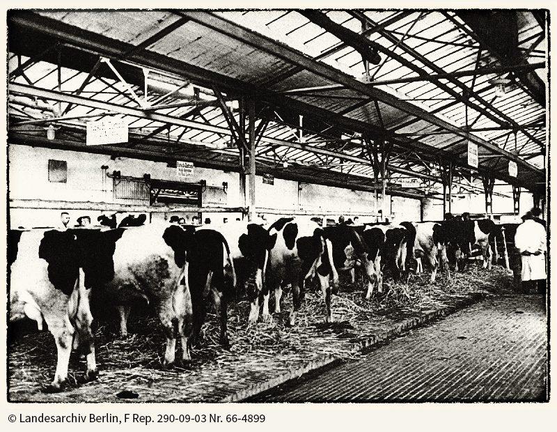 Rinderstand in einer Viehhalle, 1934